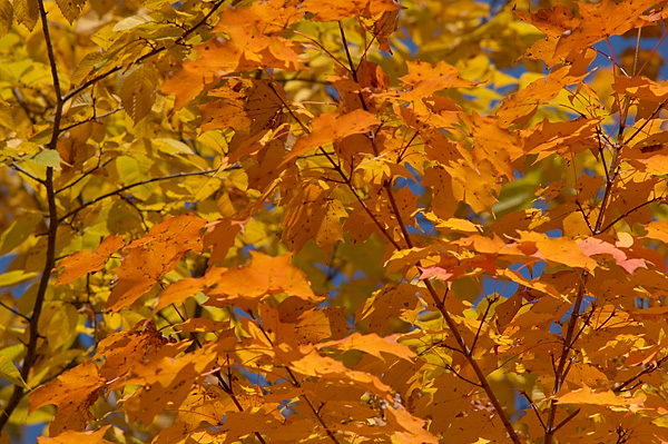 Fall Leaves - Sommers, NY