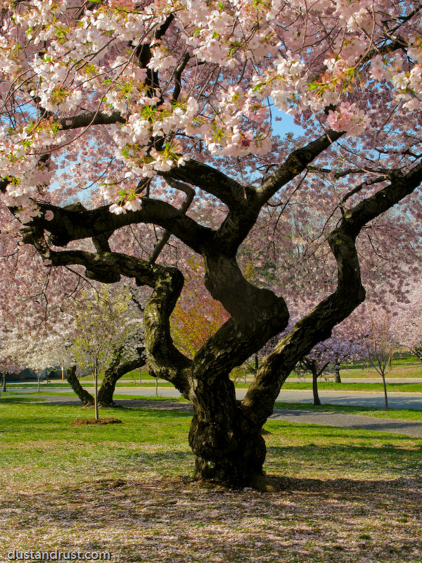 Sakura branch brook park cherry blossoms
