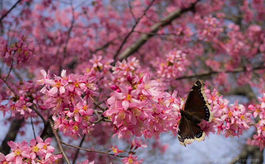 4f876d62b Cherry Blossom and Butterfly | Dust and Rust