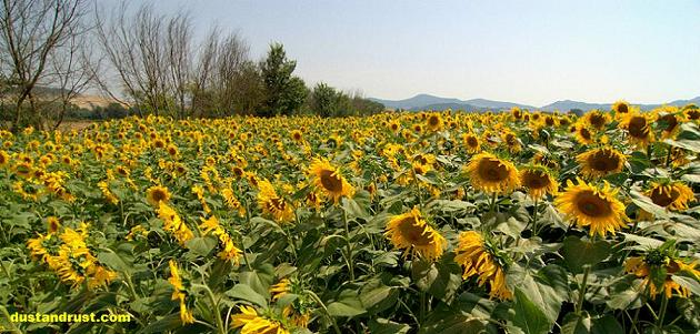Italian Sunflower Field