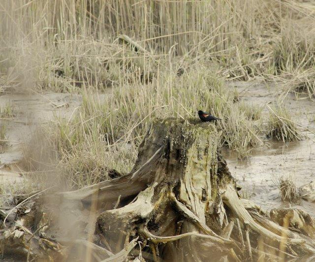 Mill Creek Marsh Cedar Stump
