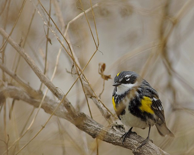 Mill Creek Marsh Myrtle Warbler