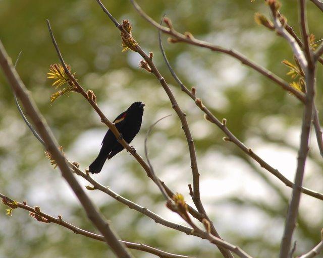Mill Creek Marsh Red Winged Blackbird