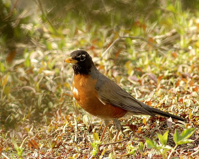 Mill Creek Marsh Robin